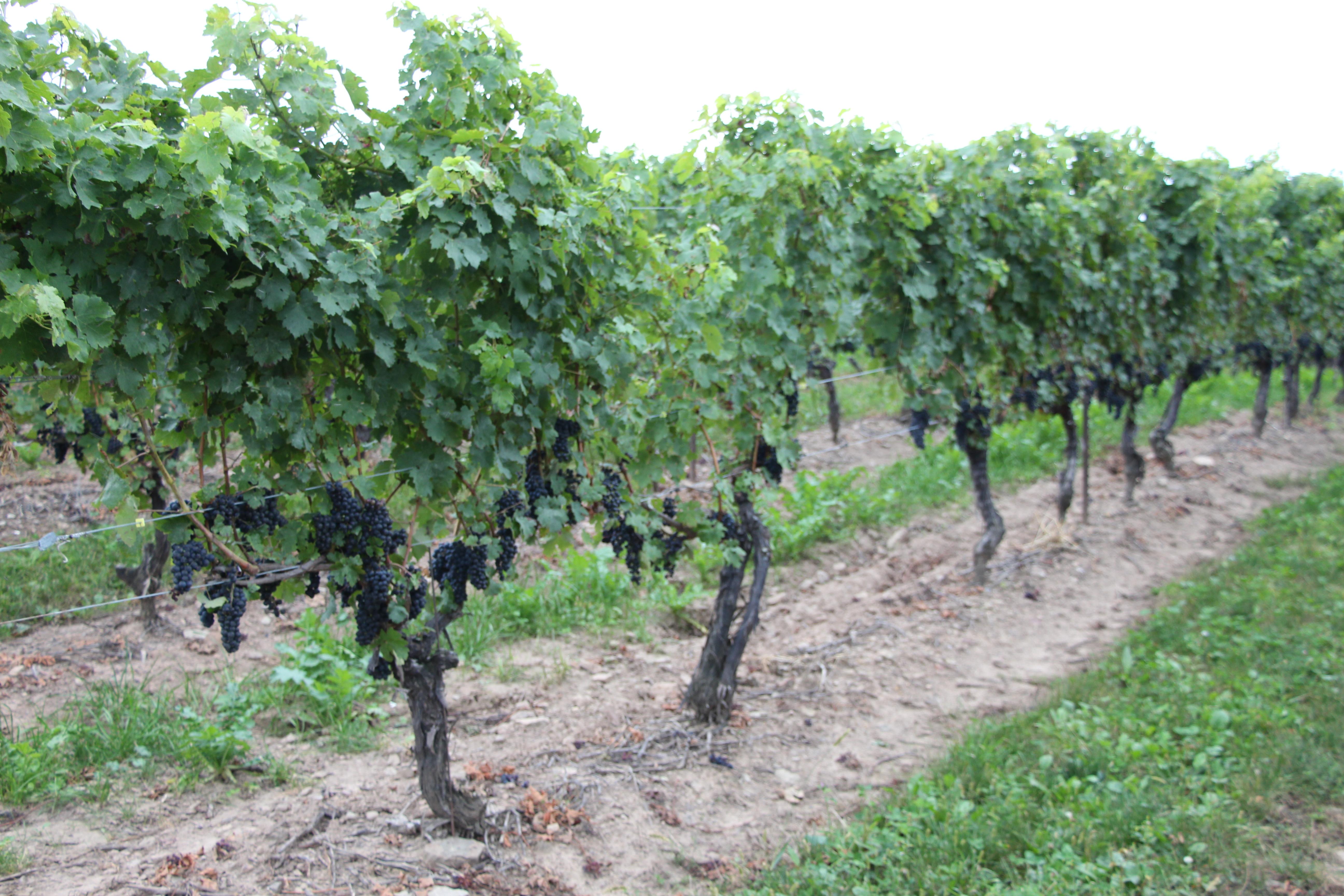 ワイナリーのブドウ畑