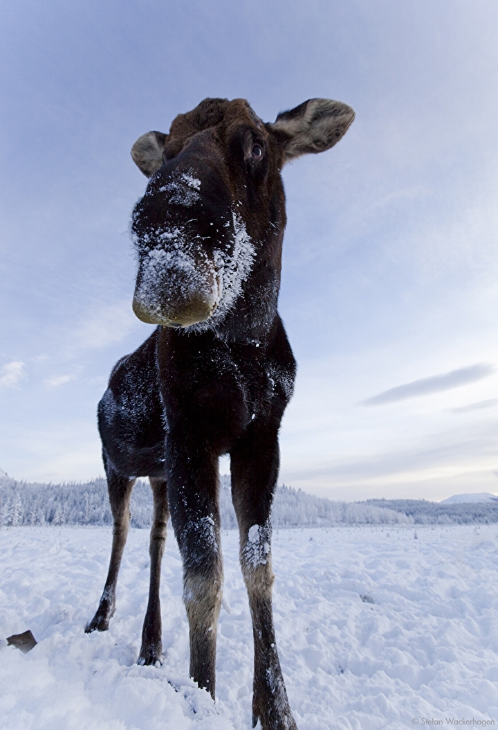 wildlifepreserve_moose