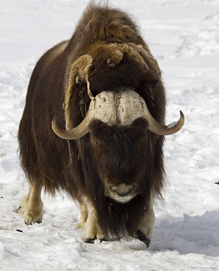wildlife.preserve_muskoxen