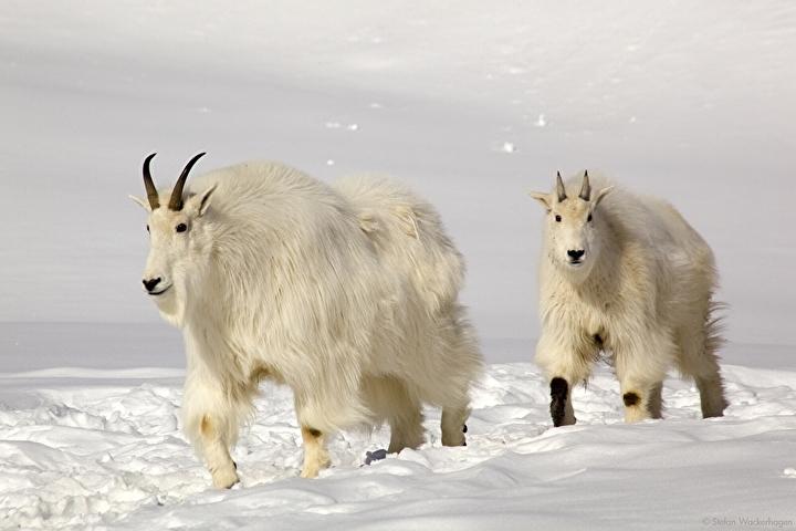 wildlifepreserve_goat