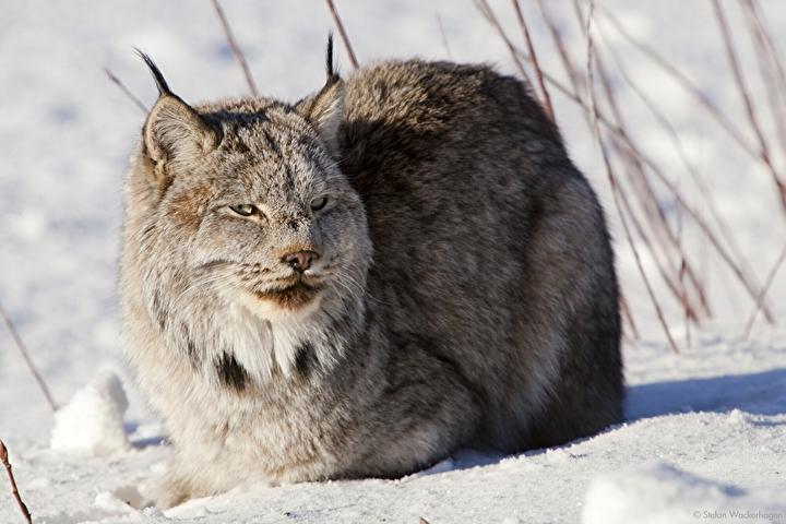 wildlifepreserve_lynx